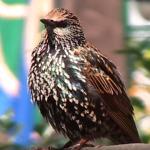 starling NYC